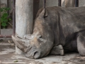 sad rhino. no mud nor water for him to cool off
